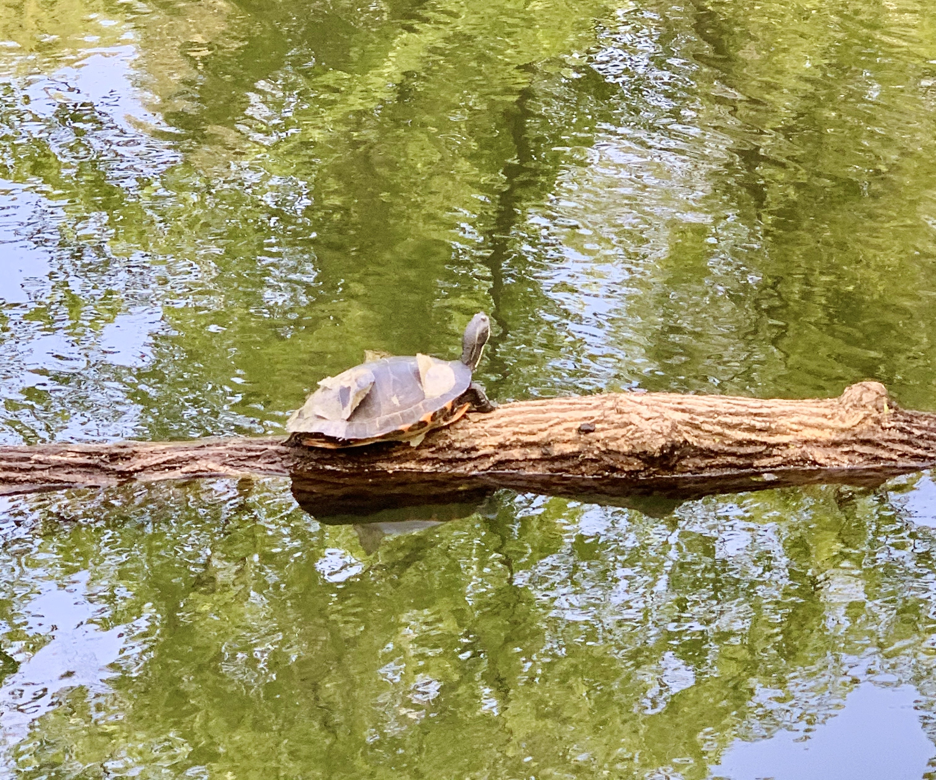 Turtle in the lake