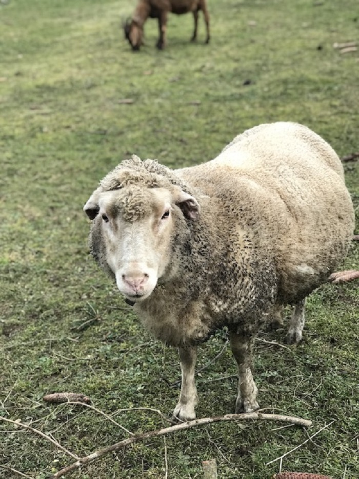 A sheep standing in a grassy field
