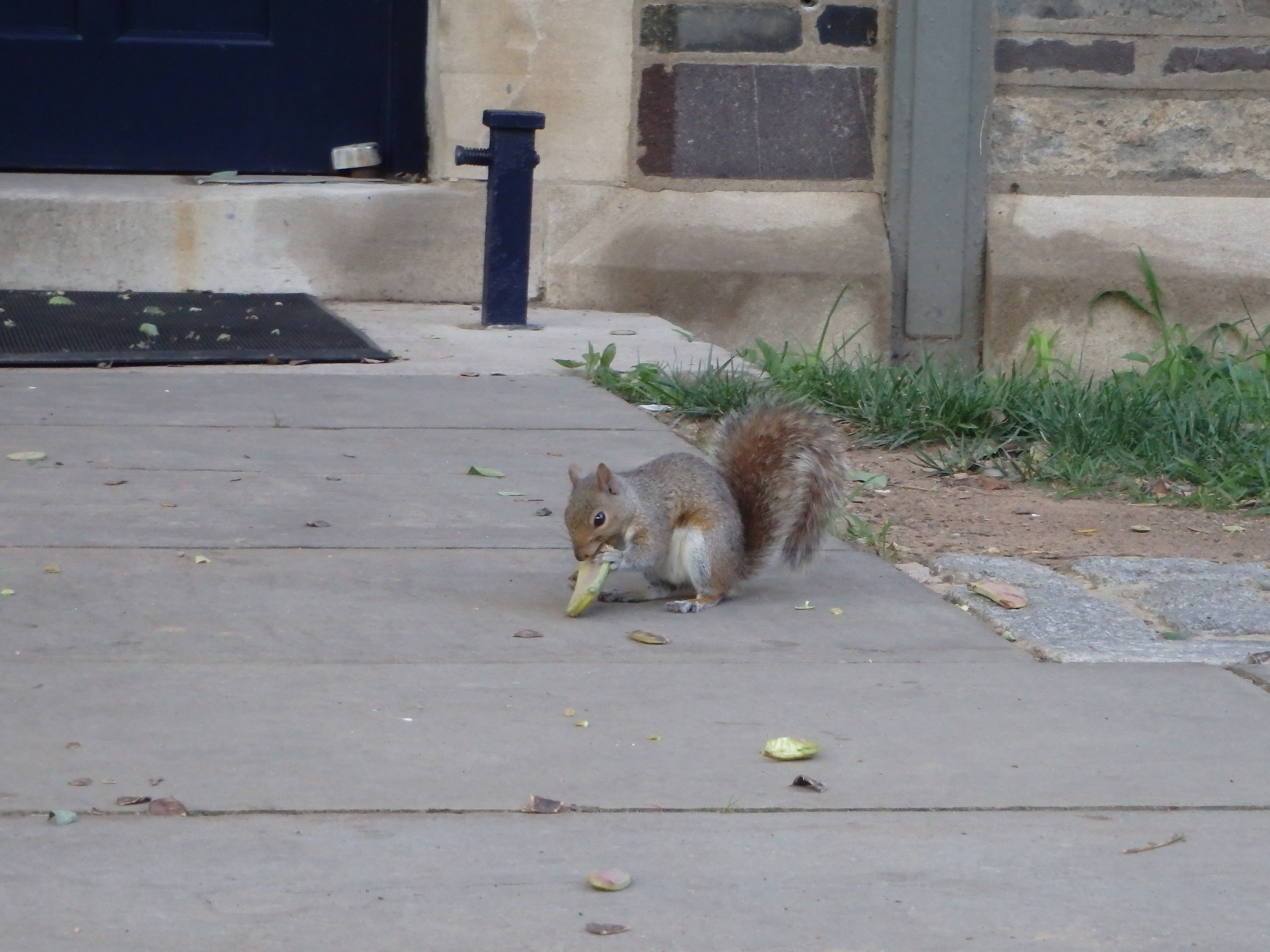 A squirrel eats on a Princeton walkway
