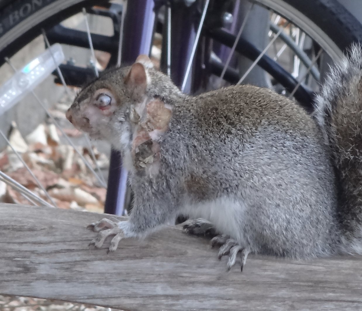 Two face squirrel