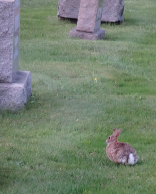 Graveyard rabbit